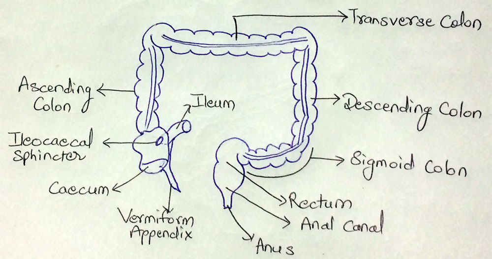 Structure of Large Intestine