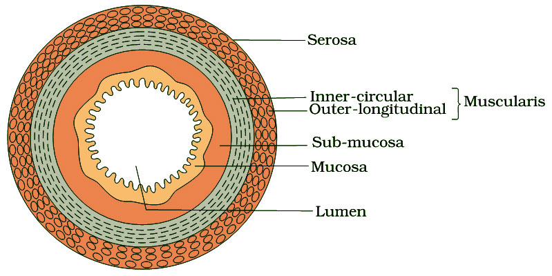 Layers of Digestive Tract