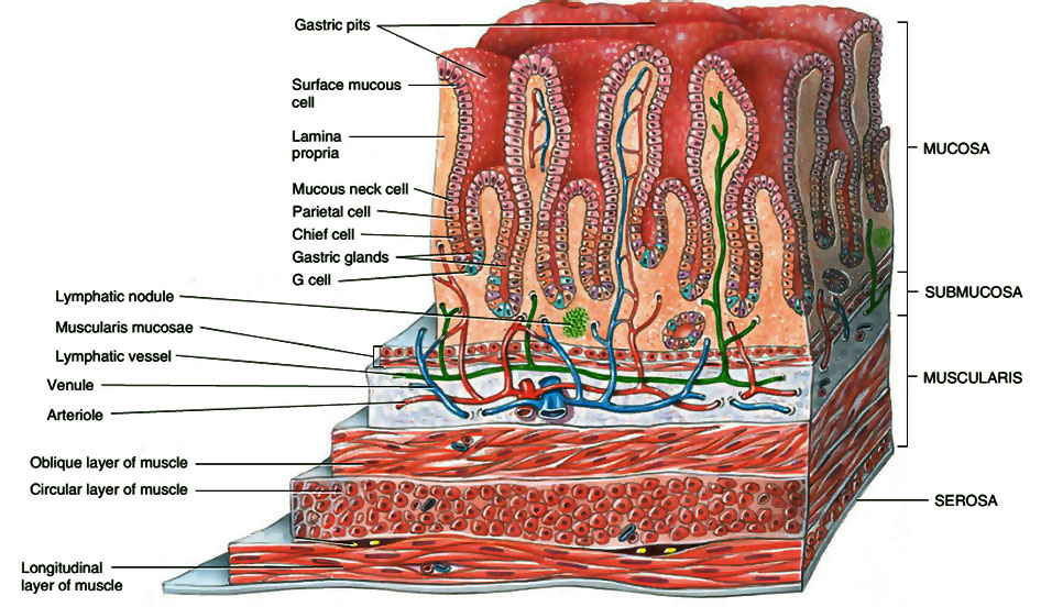 Layers of Stomach
