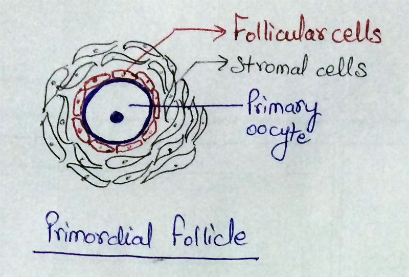 AIPMT - Biology- Representation of Primordial Follicle