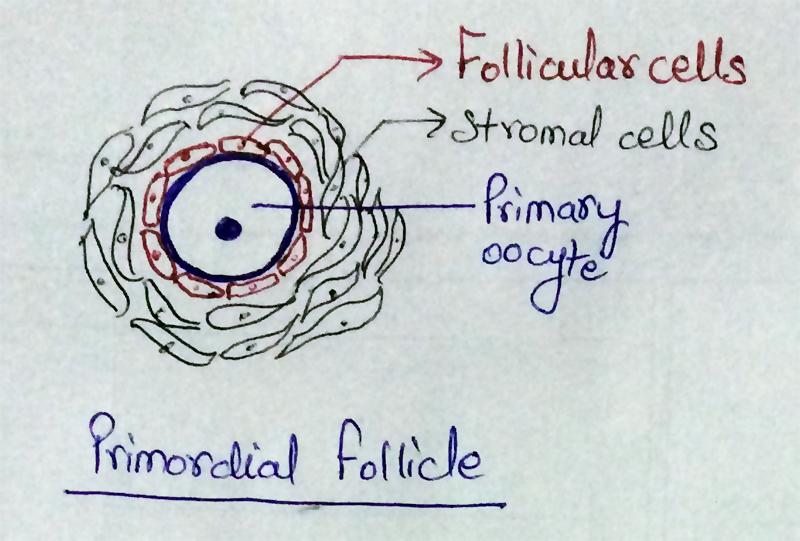 AIPMT - Biology- Representation of Primordial Follicle