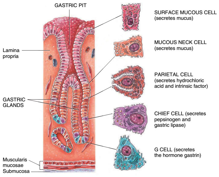 Gastric Pit and Secretory Cells