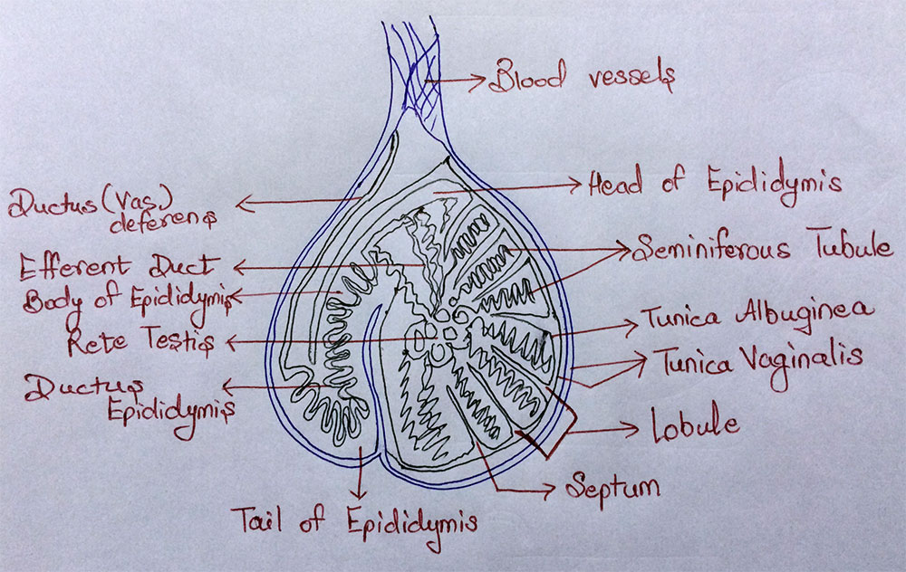 AIPMT Biology - Structure of Testis