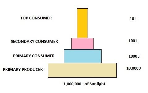 AIPMT Biology - Pyramid of Energy