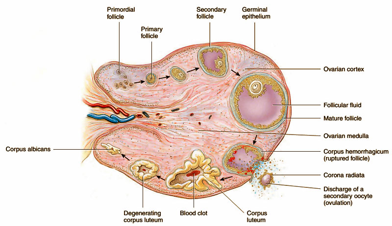 AIPMT_Biology- Diagram showing events in ovary during menstrual cycle