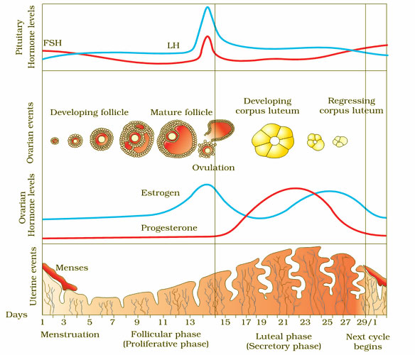 AIPMT- Biology- Diagram showing events of Menstrual Cycle; Hormonal and Endometrium changes