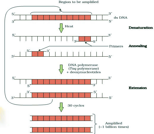 AIPMT-NEET- BIOLOGY-Polymerase-chain-Reaction showing 3 basic steps: Denaturation, Primer Annealing and Extension of primers