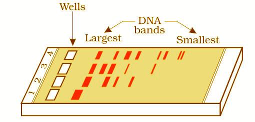 AIPMT-NEET- Biology-Agarose-gel-electrophoresis