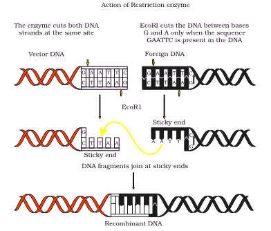 Formation of Recombinant DNA molecule by the action of restriction endonulease